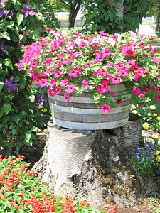 spring picture of spring flowers petunias in barrel
