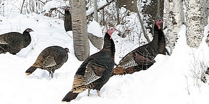 wild turkeys in snow by birch trees