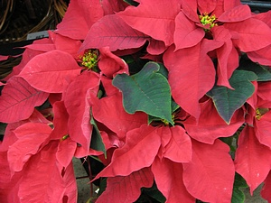 Christmas Pointsettias