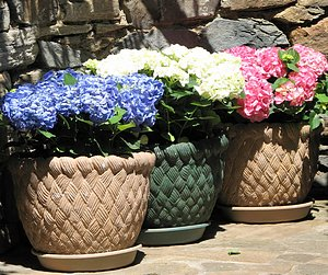 Mothers Day gift of three hydrangeas, one blue, one white, one pink, in pots