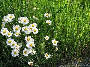 Field of daisies for mother gift