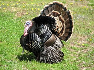 Male wild turkey with tail fanned
