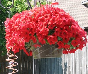 Red petunias overflowing a hanging pot, a gift for mother.